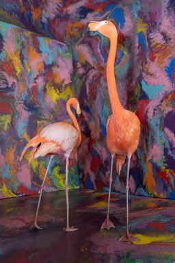 Caribbean flamingos Aruba and Bermuda.jpg
