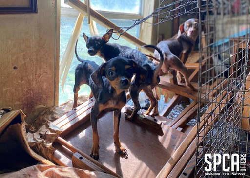12 Chihuahuas Seized